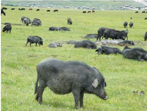 河北藏香猪生产厂家