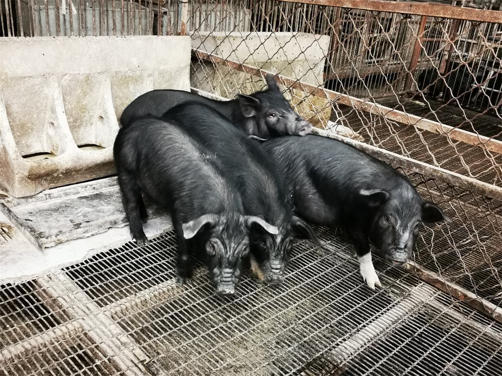 张家口生态猪厂