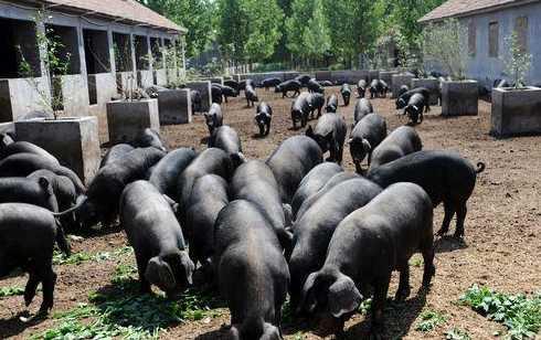 山西黑猪生产厂家