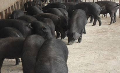 内蒙种猪厂