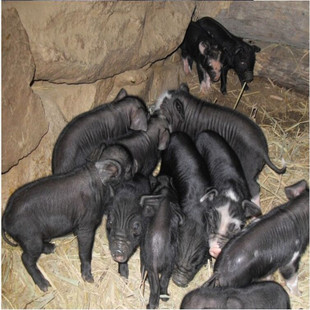 张家口种猪价格