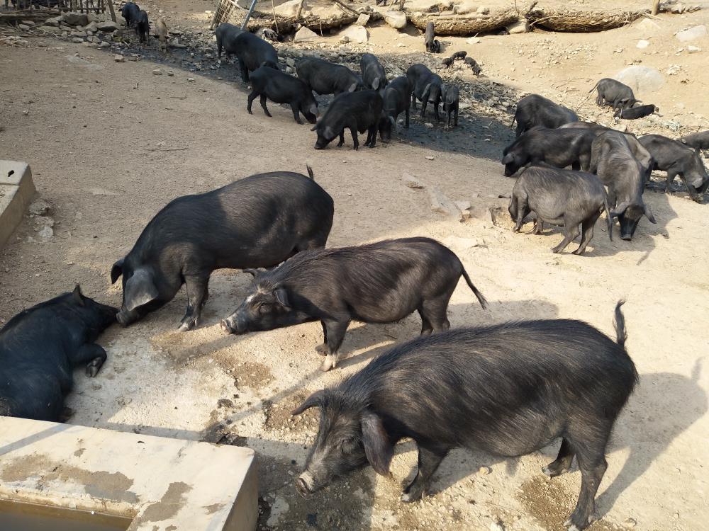 张家口生态猪生产厂家
