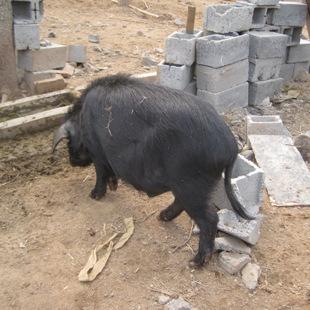 张家口种猪养殖厂