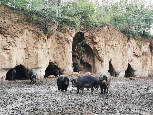 河北某农户厂家藏香猪合作图片