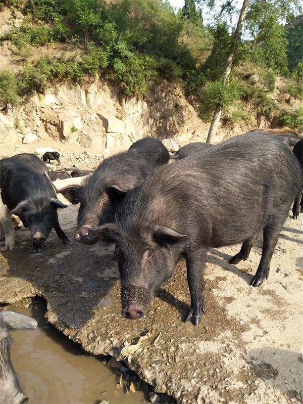 内蒙某农户厂种猪合作案例图