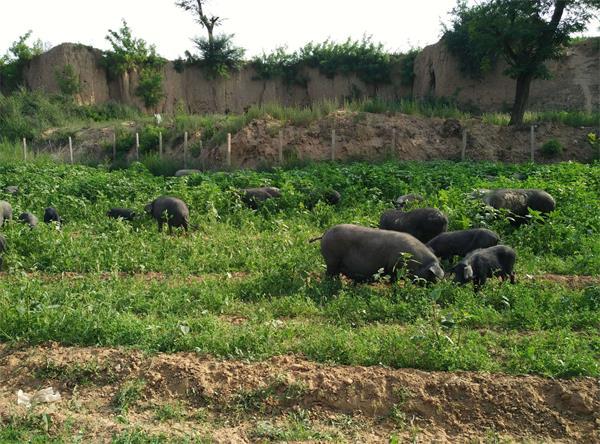 张家口某厂生态猪合作案例图