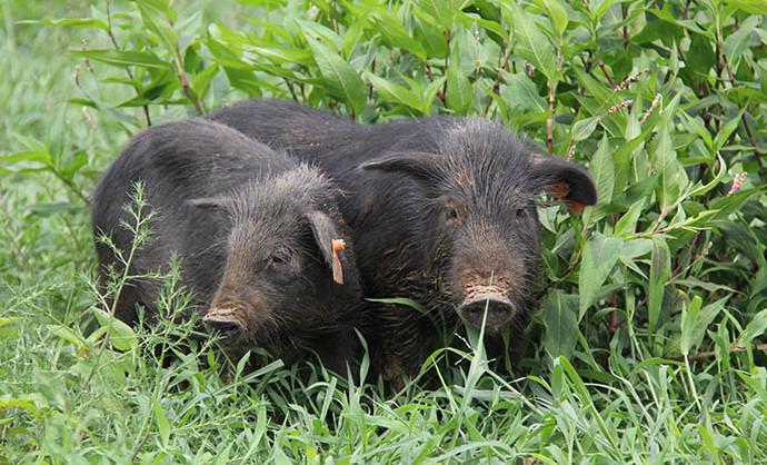 藏香猪做野生散养需要注意哪些?