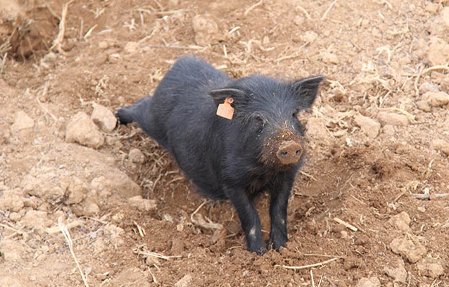 藏香猪猪苗