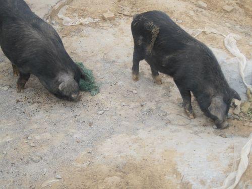 藏香猪饲在饲喂时需要注意什么?藏香猪母猪哺乳期及妊娠后怎么喂养?
