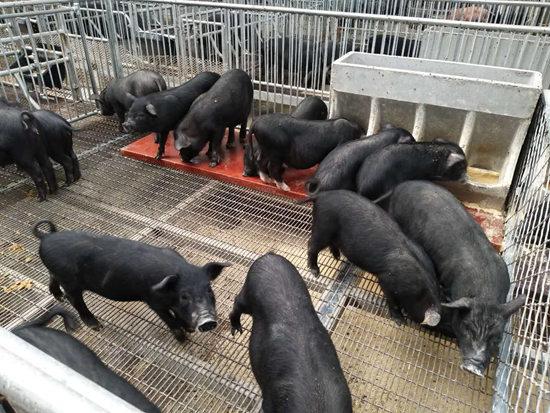 河北藏香猪场