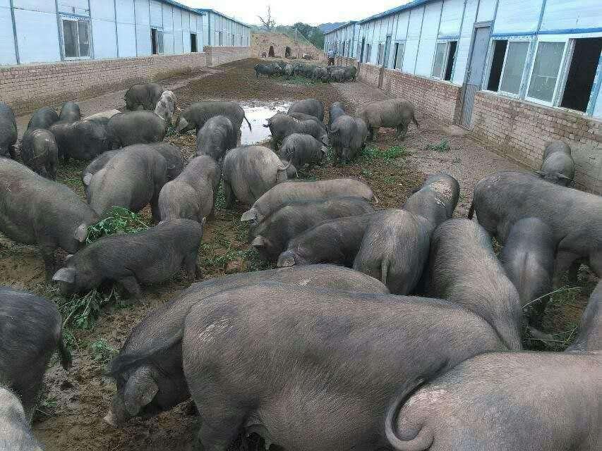河北黑猪养殖场