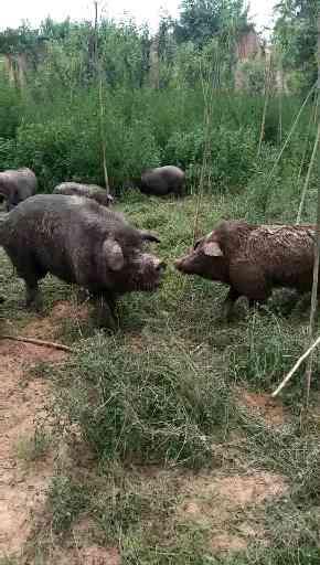 在河北饲养黑猪仔猪需要注意哪些方面,仔猪怎么养成活率高?