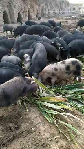 河北藏香猪养殖厂家