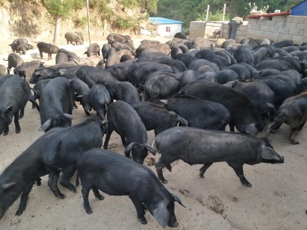 河北生态猪养殖场