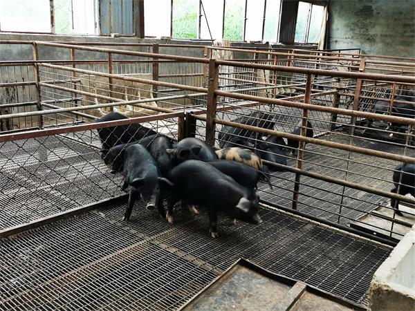 在冬季养殖黑猪如何调节猪舍的温度,主要有两个方面