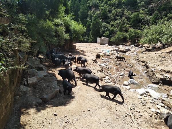 藏香猪发生传染病后如何防止传播?