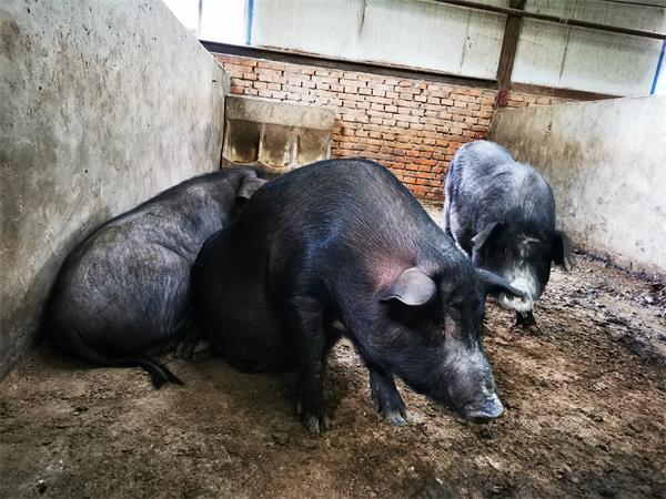 河北藏香猪养殖场