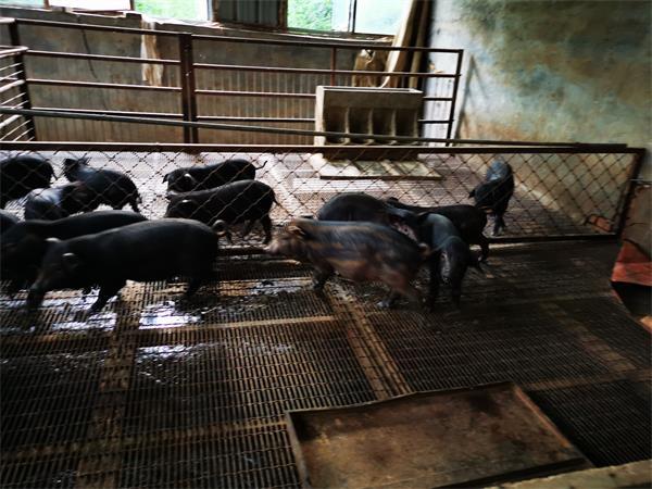 河北藏香猪养殖场分析藏香猪的接生方法都有哪些?