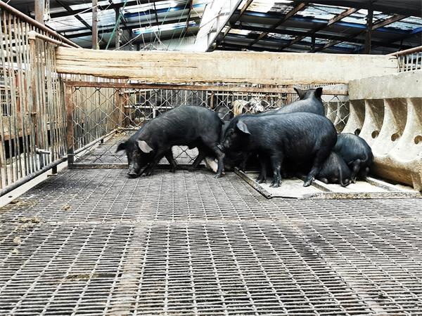 河北藏香猪