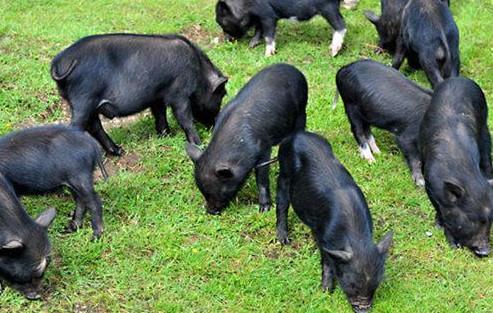 藏香猪多大可以配种?藏香猪和什么猪杂交好?