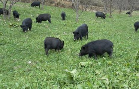 藏香猪吃这五类食物长得快