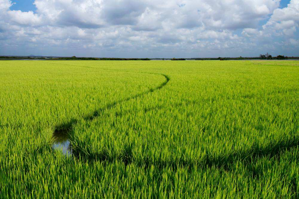 2020年全国早稻实现增产,扭转多年下滑态势