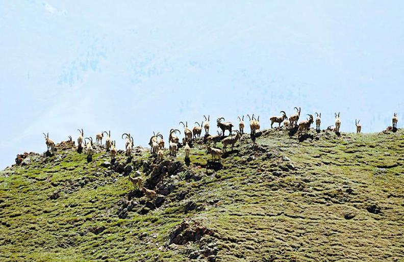 北山羊成群迁徙