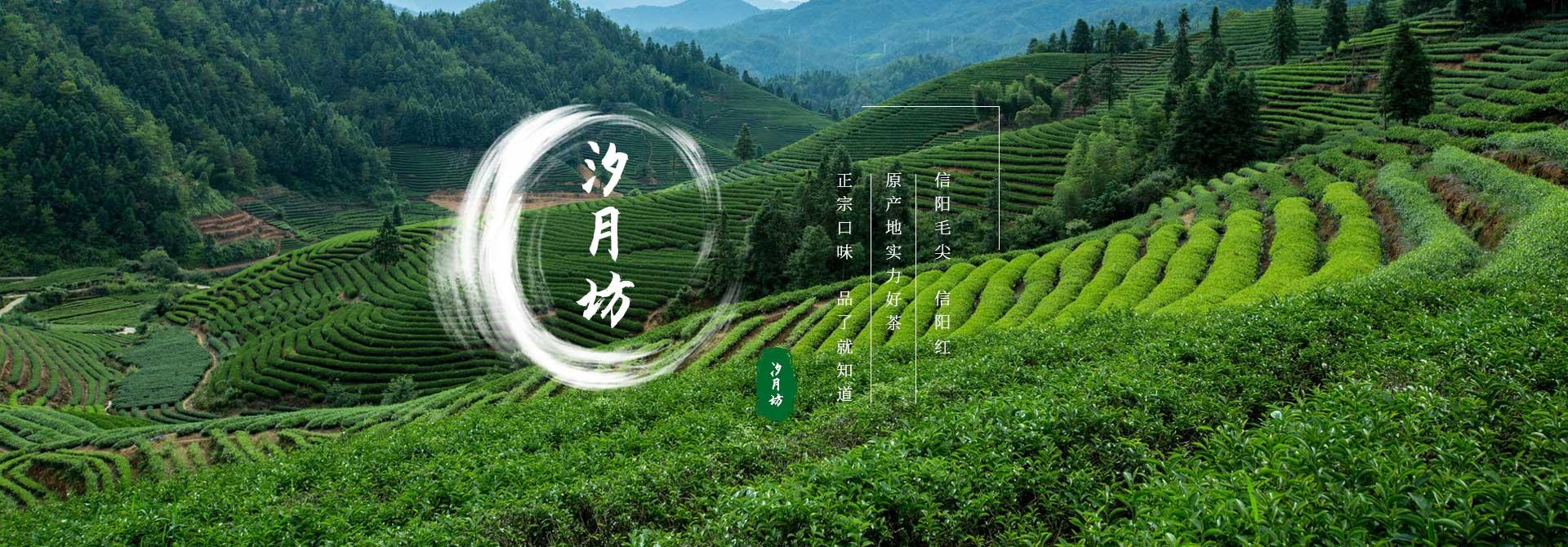信阳高山茶