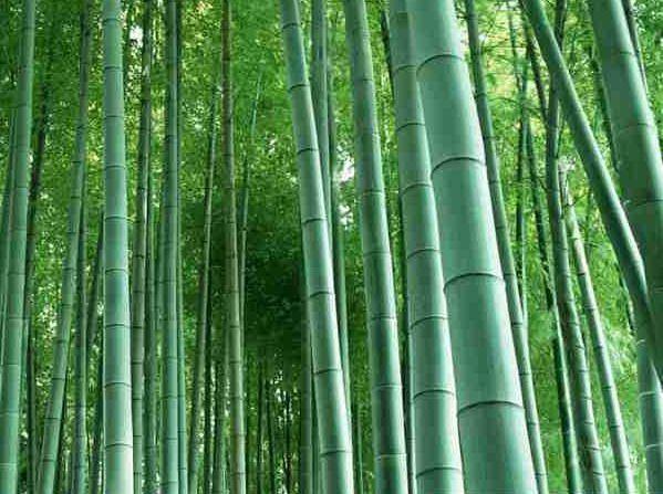 四川楠竹和毛竹有什么区别,楠竹播种时间什么时候比较时候?