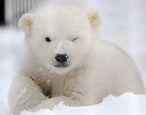 一则饥饿的北极熊打劫垃圾车的新闻上了热搜
