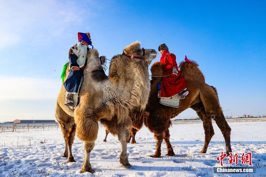 内蒙古鄂温克草原举行骆驼选美