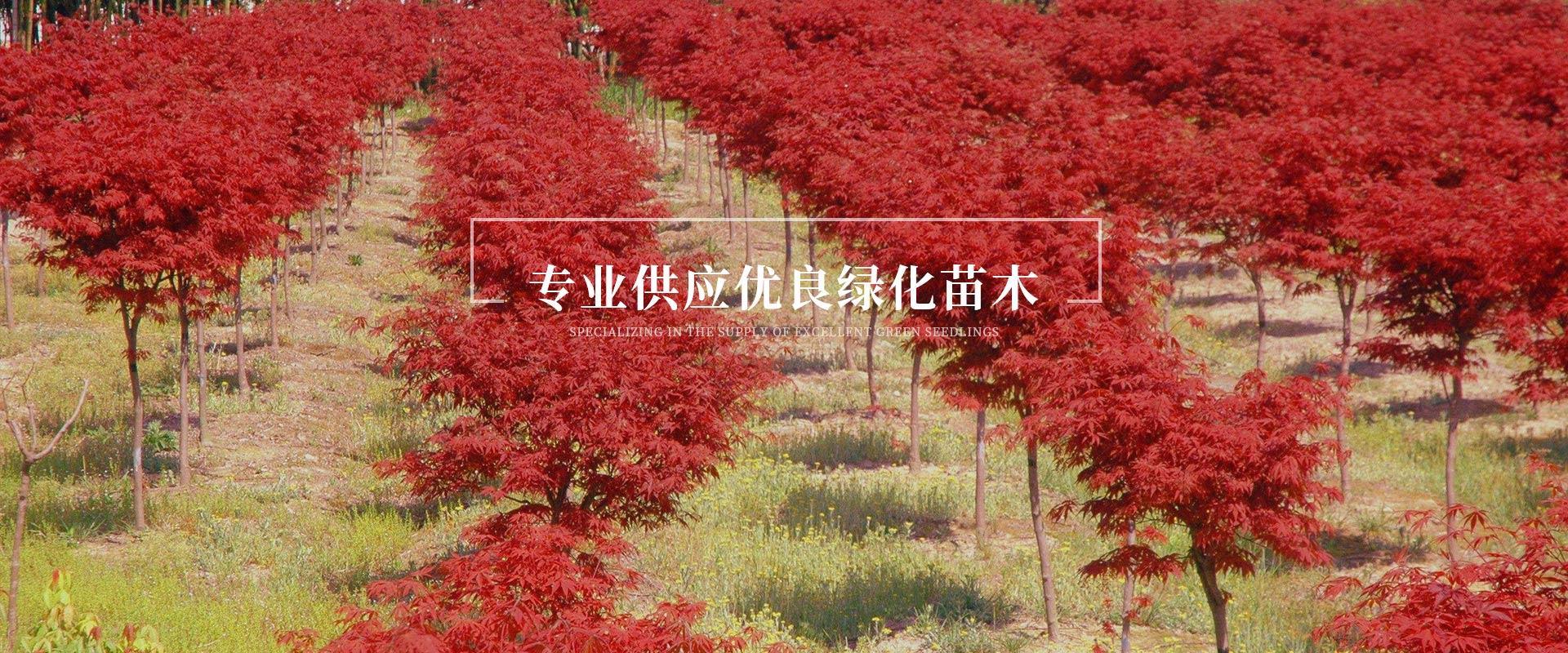 四川桂花树