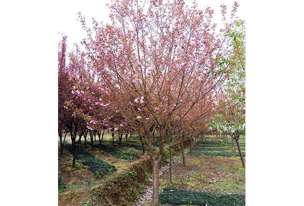 四川樱花树