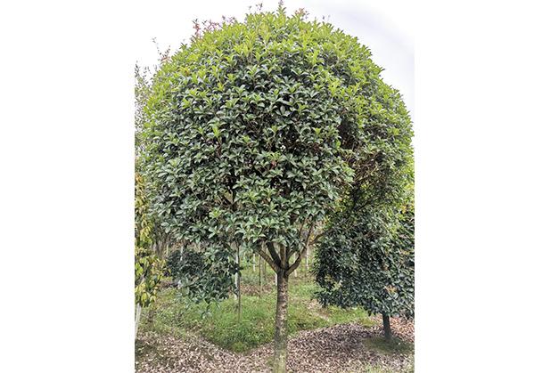 四川桂花树种植
