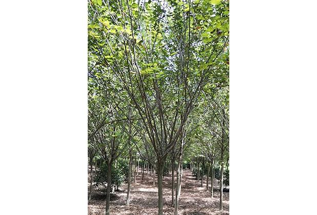 四川绿化苗木