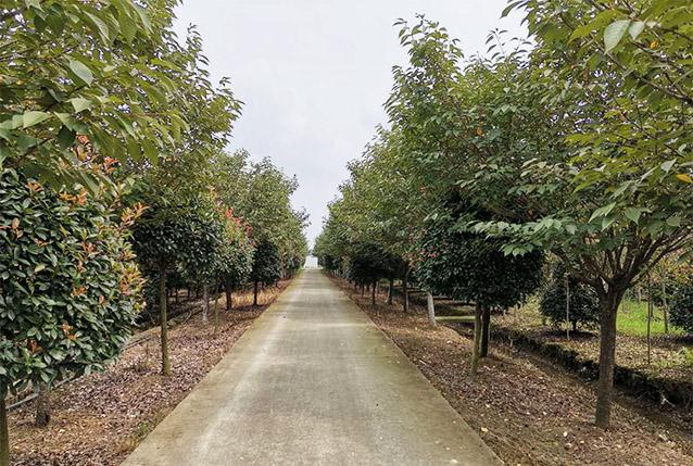 四川绿化苗木批发成功案例