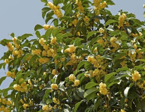 桂花树叶子发黄干枯是什么原因导致的?有什么解决方法?