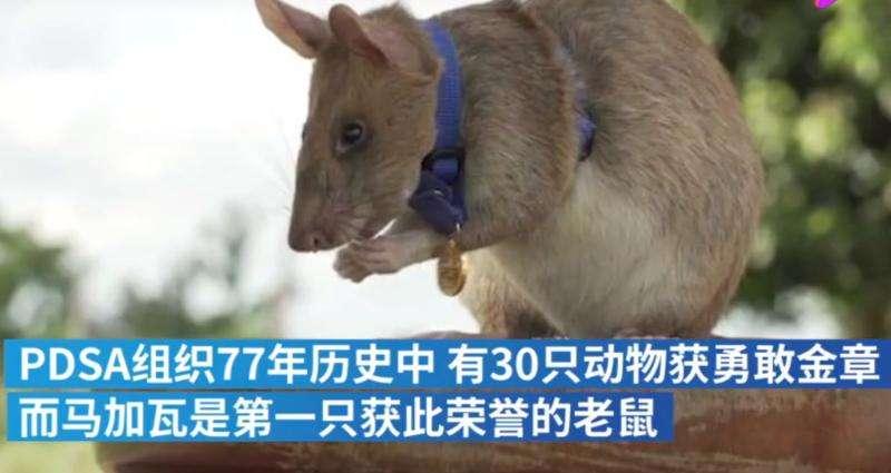 非洲巨鼠嗅出39枚地雷获奖章怎么回事?非洲巨鼠是如何嗅出地雷的