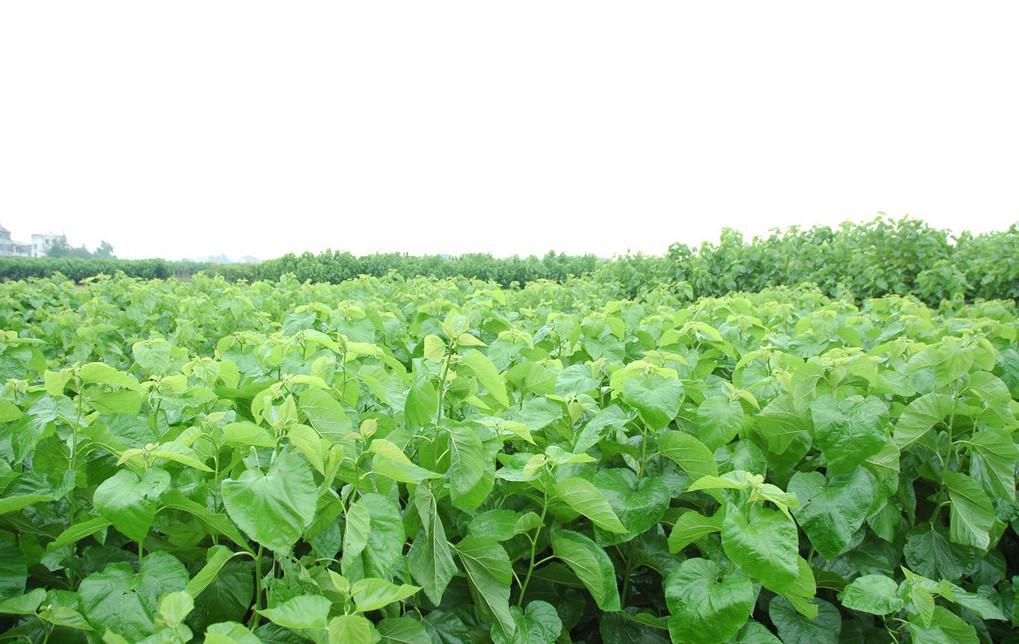 """植物提取物饲料添加剂,将成为未来饲料添加剂中的""""龙头""""!"""