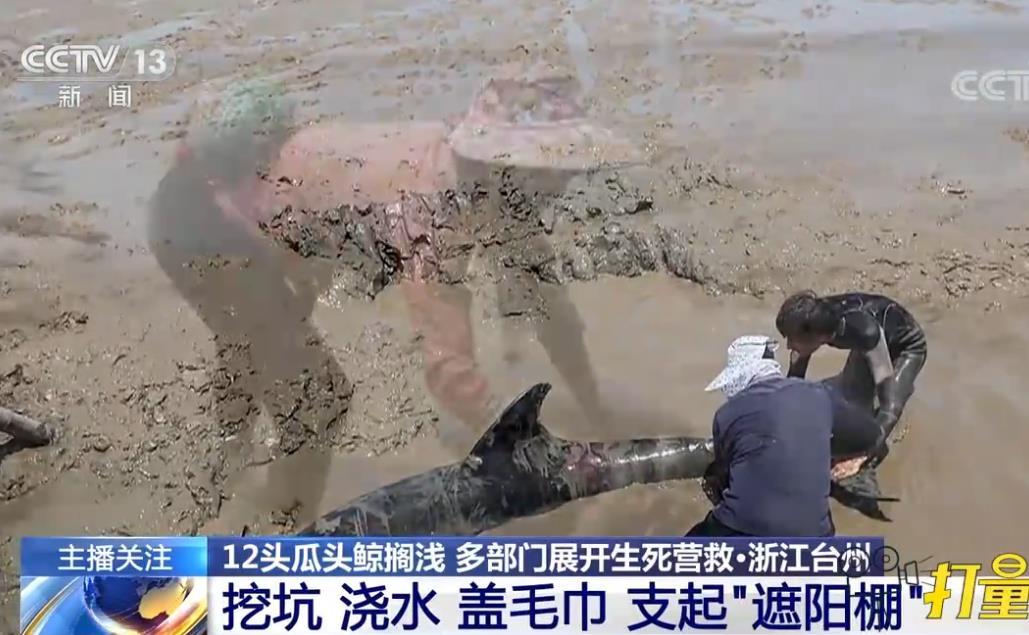 """""""鲸""""险大救援 浙江12头""""迷路""""瓜头鲸生死营救始末"""