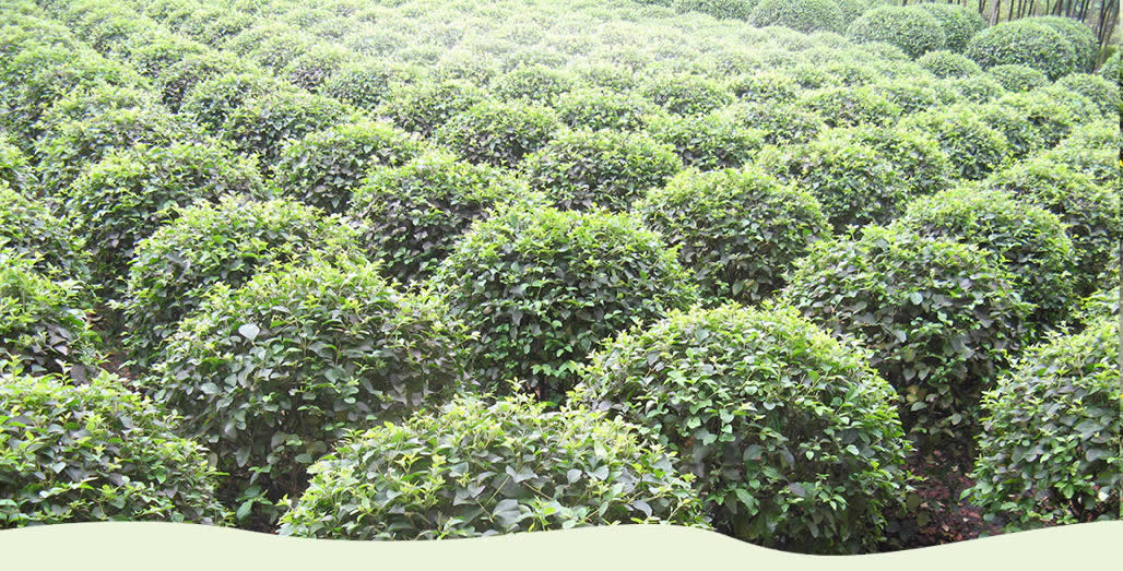 绿化苗木批发