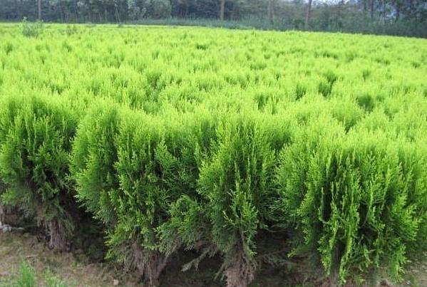 绿化苗木种植