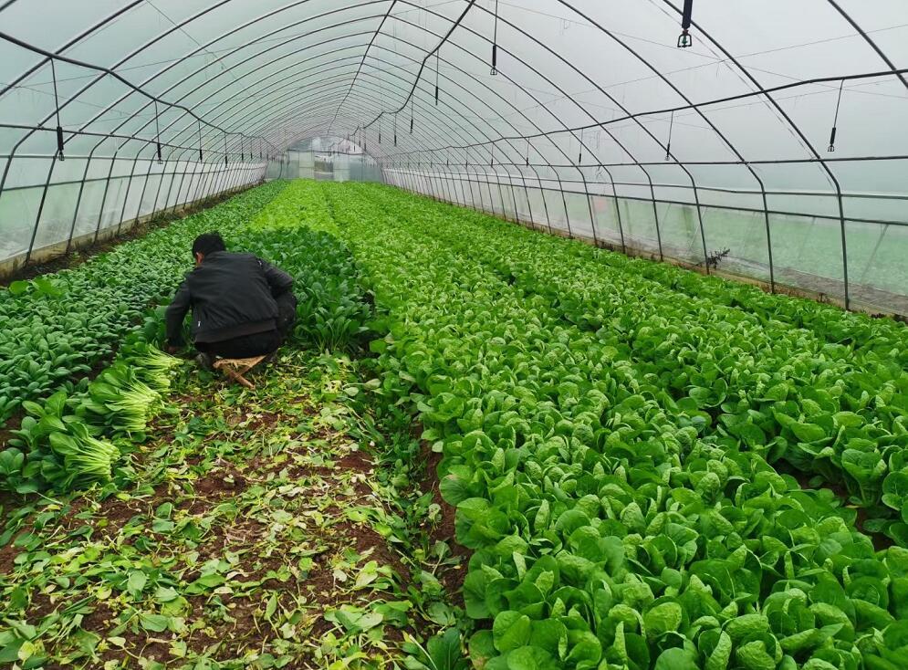 蔬菜大棚案例