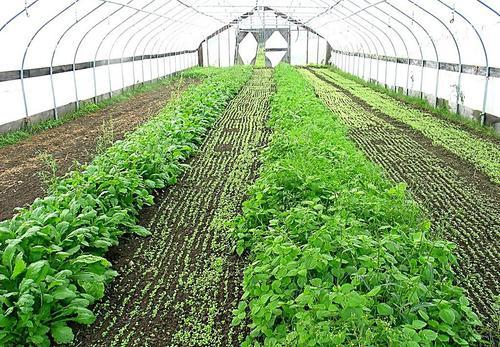 预防成都蔬菜大棚蔬菜早衰的四个方法