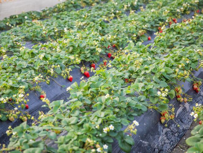 草莓栽培技术