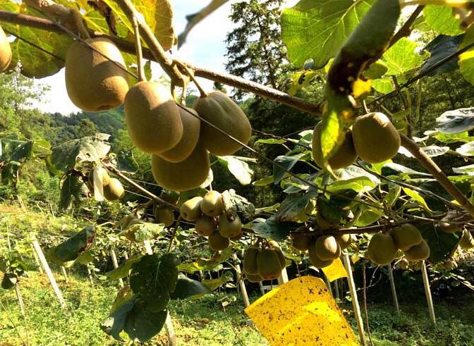 猕猴桃栽培技术
