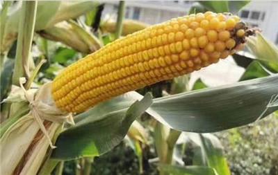 使用高效活性生物硅肥的玉米长势