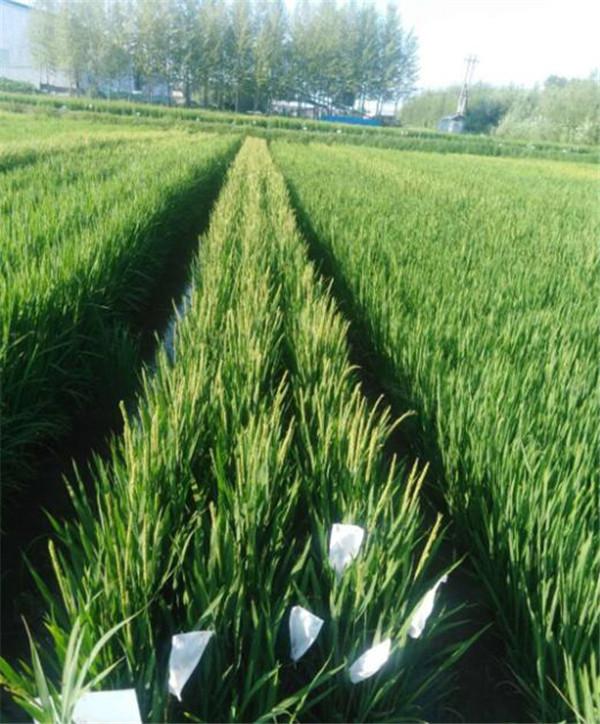 水稻生物菌肥使用情况