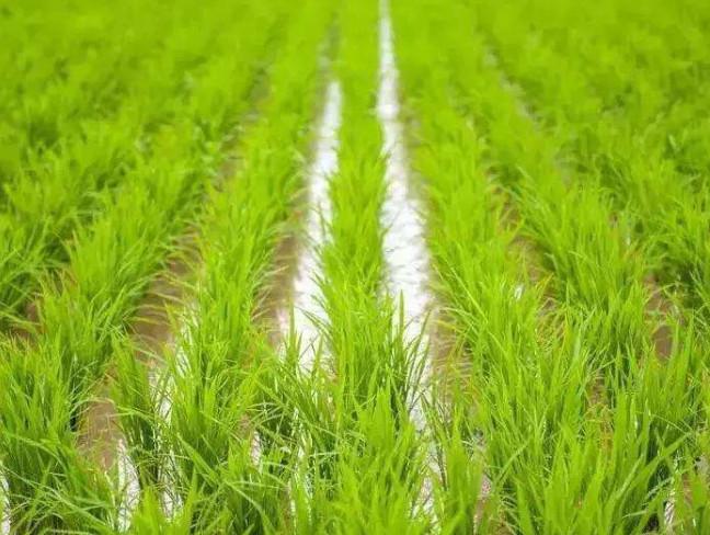 水稻增强施肥效果需要做到这4点