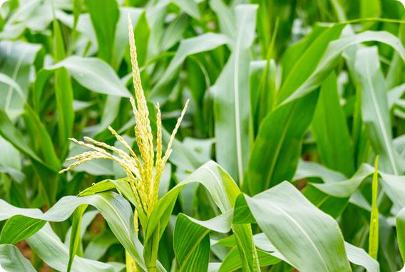 如何让水稻增收增产